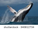 humpback whale jumps out of the ...   Shutterstock . vector #340812734