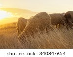 Sheep Grazing In The Field...