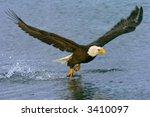 American Bald Eagle Gets Snack...