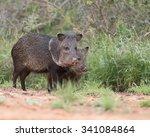 two javelina in rio grande... | Shutterstock . vector #341084864