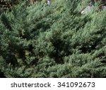 bush of jiniper in autumn...   Shutterstock . vector #341092673