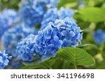 many blue hydrangea flowers... | Shutterstock . vector #341196698