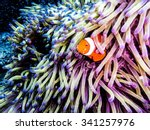 Clownfish peaking out of an anemone. Taken while diving at the Great Barrier Reef, Queensland, Australia.