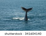 a young humpback whale ... | Shutterstock . vector #341604140