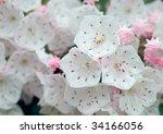 Mountain Laurel Flower Close Up
