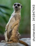 meerkat or suricate in the zoo  ... | Shutterstock . vector #341847443