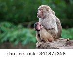 hamadryas baboons  papio... | Shutterstock . vector #341875358
