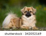 purebred tibetan spaniel dog... | Shutterstock . vector #342052169