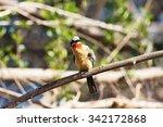 white fronted bee eater  merops ... | Shutterstock . vector #342172868