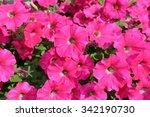 Petunia Flowers Bloom In The...