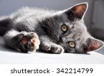 Stock photo british kitten 342214799