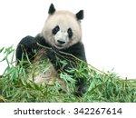 Isolated Panda. Panda Bear...