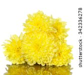 Yellow Chrysanthemums Flower O...