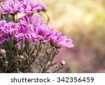Pink Chrysanthemum Flowers In...
