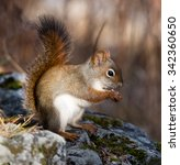 Small photo of American Red Squirrel in Fall