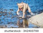 A Happy Yellow Labrador...