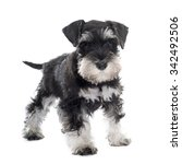 Stock photo puppy miniature schnauzer in front of white background 342492506
