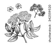 flowers elderberry  twig .... | Shutterstock . vector #342559520