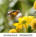 Sphingidae  Known As Bee Hawk...