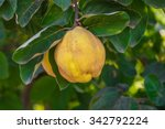 Quince Tree With Ripe Fruit...