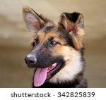 Beautiful Puppy Dog Shepherd...