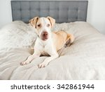 handsome white and tan colored... | Shutterstock . vector #342861944
