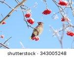 Bird Waxwing Eats Frozen Rowan...