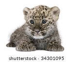Stock photo  persian leopard cub weeks in front of a white background 34301095