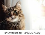 Stock photo cute adorable sweet cat sitting with amazing wise look winter holidays 343027109