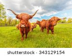 Highland Cattle In The Swedish...