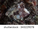 Small photo of A white-face Waspfish (Ablabys sp.) sits on a reef in Lembeh Strait, Indonesia. This small, venomous, predator feeds on tiny crustaceans, mollusks, and fish.
