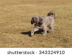 elderly poodle mix dog playing... | Shutterstock . vector #343324910