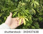Man Holding Marijuana Leaf On...