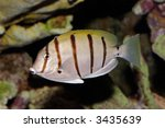 Small photo of Underwater view of a Convict Surgeonfish or Manini (Acanthurus triostegus)