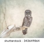 Great Grey Owl On Branch