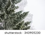 Evergreen Spruce Tree Branches...