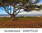 Cypress Tree By The Pacific...