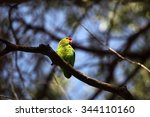 Small photo of A male black-winged lovebird (Agapornis taranta) in a tree