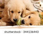 Stock photo cute golden retriever puppies playing with a tennis ball dogs playing 344136443