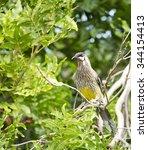 a  large noisy  red wattlebird  ... | Shutterstock . vector #344154413