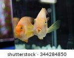 Two Blood Parrot Fish Cichlids...