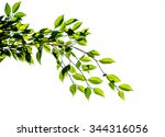 green branch leaf isolate on... | Shutterstock . vector #344316056