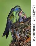 Adult Hummingbird Feeding Two...