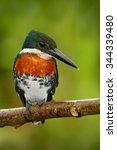 Small photo of Amazon Kingfisher, Chloroceryle amazona, portrait of green and orange nice bird, Cano Negro, Costa Rica