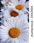 chamomiles | Shutterstock . vector #3443404