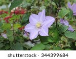Clematis Flowers Bloom In The...