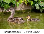 Mother Mallard Duck With Her...