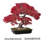 Red Maple Bonsai Tree Isolated...