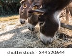 Three Lovely Donkeys Eating Th...