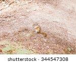 Small photo of Vintage looking Squirrel scientific name Animalia Chordata Mammalia Rodentia Sciuromorpha Sciuridae